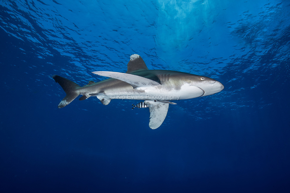 Oceanic Whitetip Shark, Red Sea, Egypt.