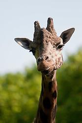 20.04.2011, Wien, AUT, Feature, im Bild Giraffe im Tierpark von Schloss Schönbrunn, EXPA Pictures © 2011, PhotoCredit: EXPA/ Erwin Scheriau