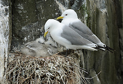 © Licensed to London News Pictures. 30/06/2016. Farne Islands, UK.  A pair of kittiwakes with two chicks nest on a cliff face in the Farne Islands, Northumberland. Between mid-April and late July the Farne Islands are home to over 100,000 pairs of breeding seabirds including puffins, kittiwakes, terns and cormorants.  Photo credit: Anna Gowthorpe/LNP