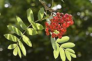 Rowan - Sorbus aucuparia