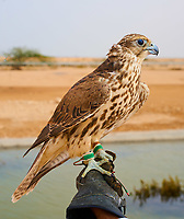 man preparing his falcon bird for Falconry hunt national sport of  Qatar