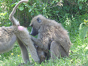 Olive Baboon (Papio anubis), also called the Anubis Baboon grooming each other. Photographed in Arusha National Park, Tanzania, Africa