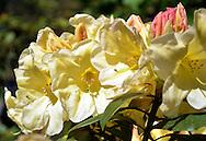 Yellow Rhodedendron