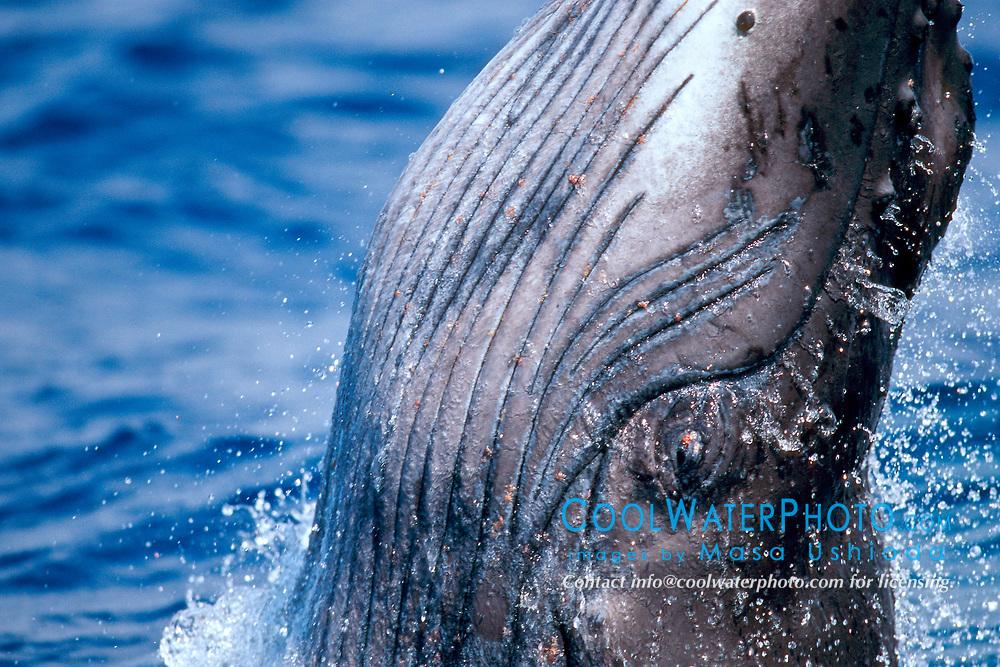 close up of breaching humpback whale newborn calf, Megaptera novaeangliae, note whale lice or cyamids already inhabited, Hawaii, Pacific Ocean