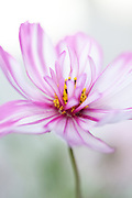 Cosmos bipinnatus 'Sweet Sixteen' mutation