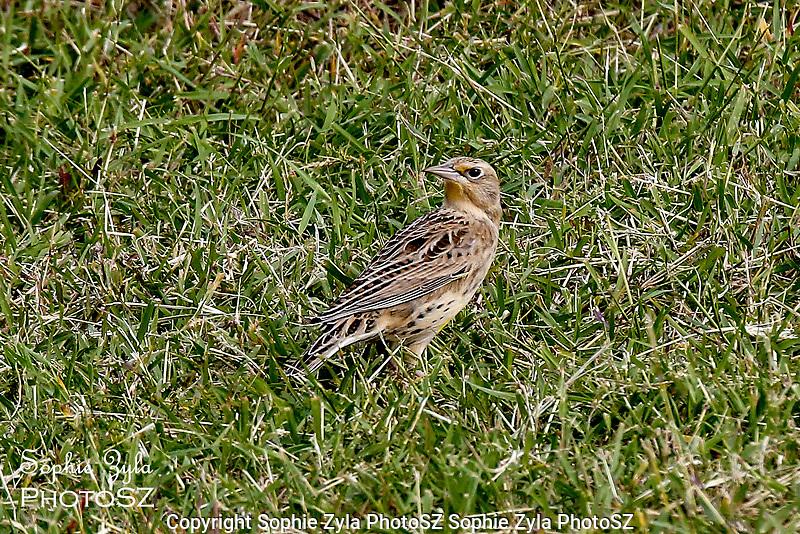 Eastern Meadowlark in Texas