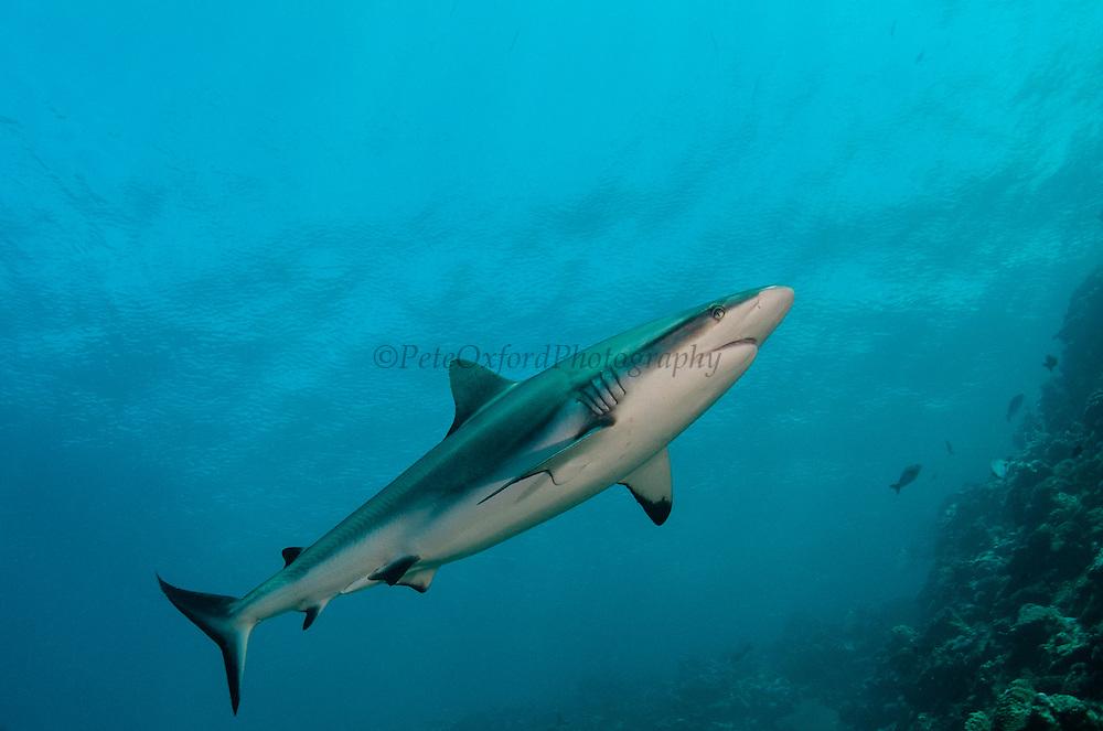 Grey Reef Shark (Carcharhinus amblyrhynchos)<br /> In shallow water on coral reef<br /> Benga Lagoon, Viti Levu<br /> Fiji. South Pacific