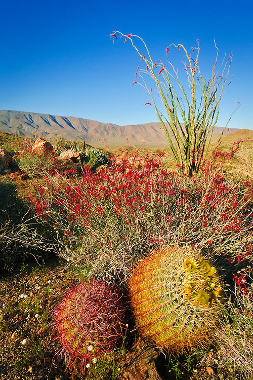 Barrel cactus, chuparosa, and ocotillo in Plum Canyon, Anza-Borrego Desert State Park, California USA
