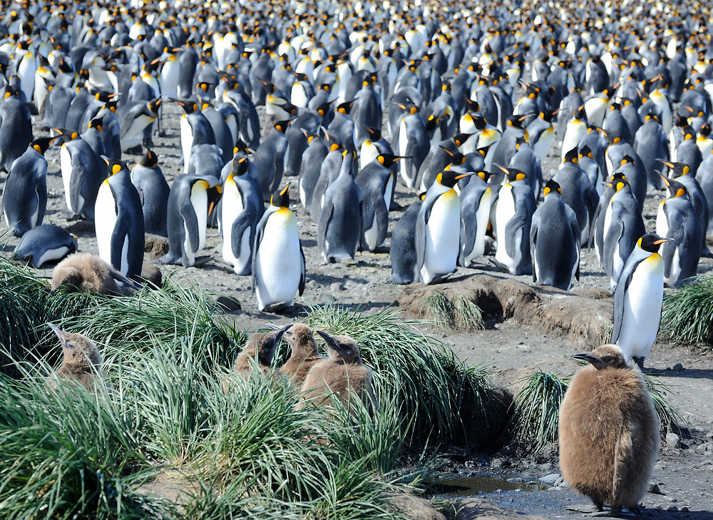 King penguins  (Aptenodytes patagonicus) crowd together at their breeding colony on Salisbury Plain. A crèche of young birds is in the foreground. Salisbury Plain, South Georgia. 19Feb16