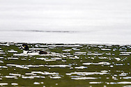 A male Barrow's Goldeneye (Bucephala islandica) swimming in a still partially frozen Lighning Lake at EC Manning Provincial Park in British Columbia, Canada