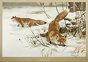 Red or Common Fox (Vulpes vulpes) From the book ' Royal Natural History ' Volume 1 Edited by  Richard Lydekker, Published in London by Frederick Warne & Co in 1893-1894