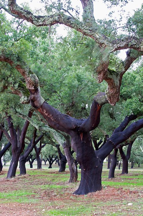Cork oak tree forest. Quinta do Carmo, Estremoz, Alentejo, Portugal