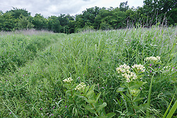 Green Milkweed (Asclepias viridis) along trail to Scyene Overlook, Great Trinity Forest, Dallas, Texas, USA