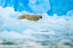 Polar bear (Ursus maritimus) in front of Monaco glacier. Spitsbergen, Svalbard