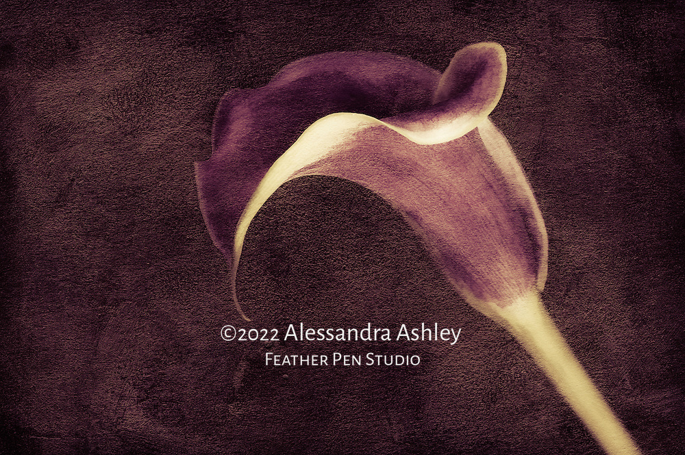 The calla lily, a floral symbol of elegance, is often described as the muse of artists.  Macro photograph combining photorealism and watercolor paint effect, with lightpainting and art paper textures.