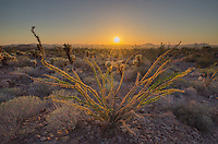 Sunset over the Sonoran Desert of Kofa National Wildlife Refuge Arizona, Ocotillo (Fouquieria splendens) in the foreground.