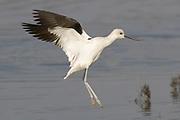 American Avocet landing.(Recurvirostra americana).Back Bay Reserve, California