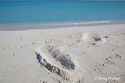 haul out impression in sand from Hawaiian monk seal, Monachus schauinslandi, Critically Endangered endemic species, Sand Island, Midway, Atoll, Midway Atoll National Wildlife Refuge, Papahanaumokuakea Marine National Monument, Northwest Hawaiian Islands ( Central North Pacific Ocean )