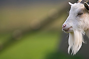 Free-range goat, Cotswolds, United Kingdom.