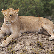 Young African lion resting. Private Game Reserve. South Africa.