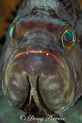 yellowmouth grouper, scamp, or rockfish, <br /> Mycteroperca interstitialis,<br /> being cleaned by sharknose goby, Elacatinus evelynae ,<br /> Cayman Islands ( Caribbean Sea )