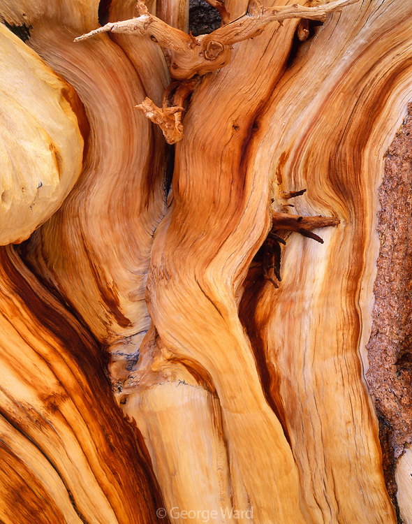Detail of Ancient Bristlecone Pine,Great Basin National Park, Nevada