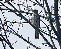 Cooper's Hawk (Accipiter cooperii). Image taken with a Nikon D5 camera and 200-500 mm f/5.6 VR lens