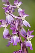 Early Purple Orchid, Orchis mascula, Stockbury Hill Woodland, Kent Wildlife Trust, UK
