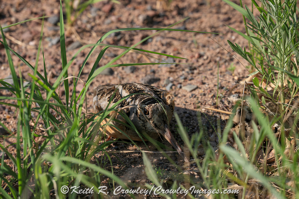 American woodcock (Scolopax minor) hen with chick in habitat.