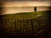 The morning fog over a vineyard and rolling hills of Italy