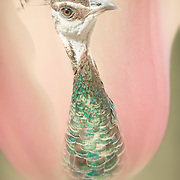 Macro view of giant peach-toned tulip with an unusual center, a blue-green peahen.