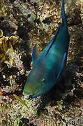Queen Parrotfish (Scarus vetula)<br /> BONAIRE, Netherlands Antilles, Caribbean<br /> HABITAT & DISTRIBUTION: Reefs<br /> Florida, Bahamas, Caribbean & Bermudal.