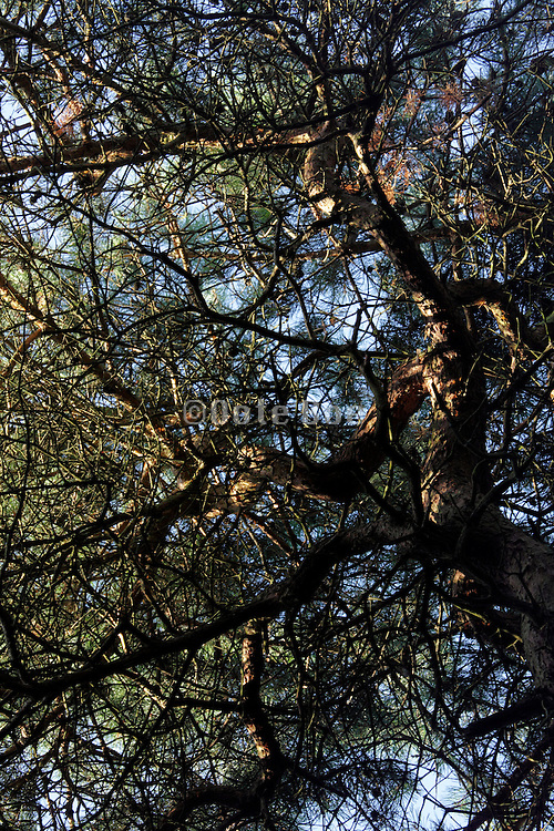 upwards view of pine tree with twisting twigs