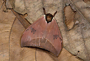 Cryptic Rainforest Moth, species unknown, on forest floor, Iquitos, Peru, Amazon jungle, camouflaged, brown colours like leaf. .South America....