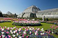 Tulips at Kew Gardens in April, London, UK