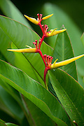 Heliconia (Heliconia sp.)<br /> Iwokrama Forest Reserve<br /> GUYANA<br /> South America