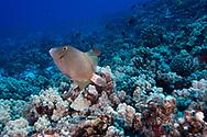 Barred Filefish, Cantherhines dumerilii, (Hollard, 1854), 1st Cathedral, Lanai, Hawaii