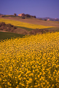 A field of yellow flowers in the rolling hills of Tuscany Italy.