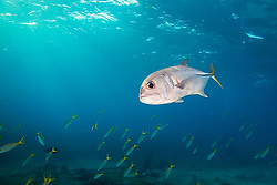 Horse-eye Jack, Caranx latus, and schooling Yellowtail Snappers, Ocyurus chrysurus, over Sugar Wreck, the remains of an old sailing ship that grounded many years ago, West End, Grand Bahamas, Caribbean, Atlantic Ocean