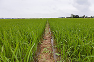 Lush green rice fields in Dong Hung District, Thai Binh Province, Vietnam, Southeast Asia