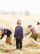 A woman harvesting rice in her field, helped by the people of her community. Siem Reap Province, Cambodia