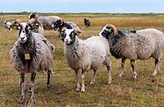 Endelave - Sheep