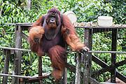 A dominant flanged male orangutan (Pongo pymaeus) sitting on edge of a feeding station platform while dangling leg, Camp Leakey, Tanjung Puting National Park, Central Kalimantan, Borneo, Indonesia
