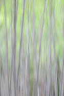 spring dance of the alder-motion abstract caused by camera motion in a red alder forest in the Olympic National Forest, S fork of the Skokomish River, Washington, USA high key