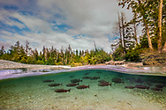 Chinook Salmon Salmon<br /> <br /> Fernando Lessa/Engbretson Underwater Photography