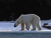 A polar bear (Ursus maritimus) walking along an icy edge of  shore, Spitsbergen, Svalbard, Norway
