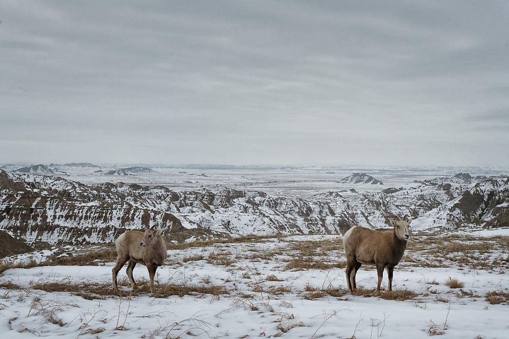 Bighorn sheep in the Badlands landscape