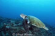 "green sea turtle, Chelonia mydas, with fibropapilloma tumors, ""Hale o Honu"", Kauai, Hawaii, USA ( Central Pacific Ocean )"