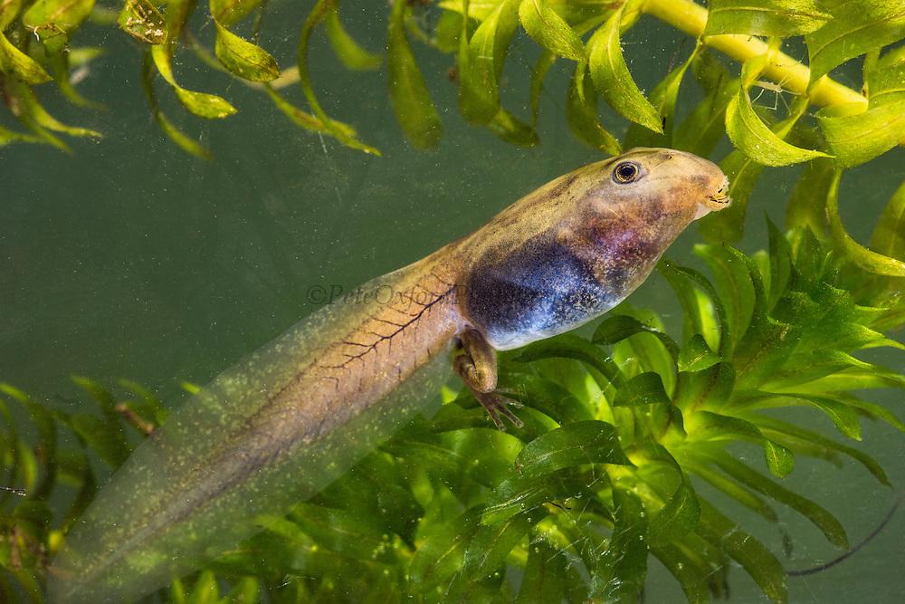 San Lucas Marsupial tadpole (Gastrotheca pseustes)<br /> base of Chimborazo Volcano (Highest mountain in Ecuador)<br /> Andes<br /> ECUADOR, South America<br /> ENDEMIC TO ECUADOR<br /> ENDANGERED SPECIES