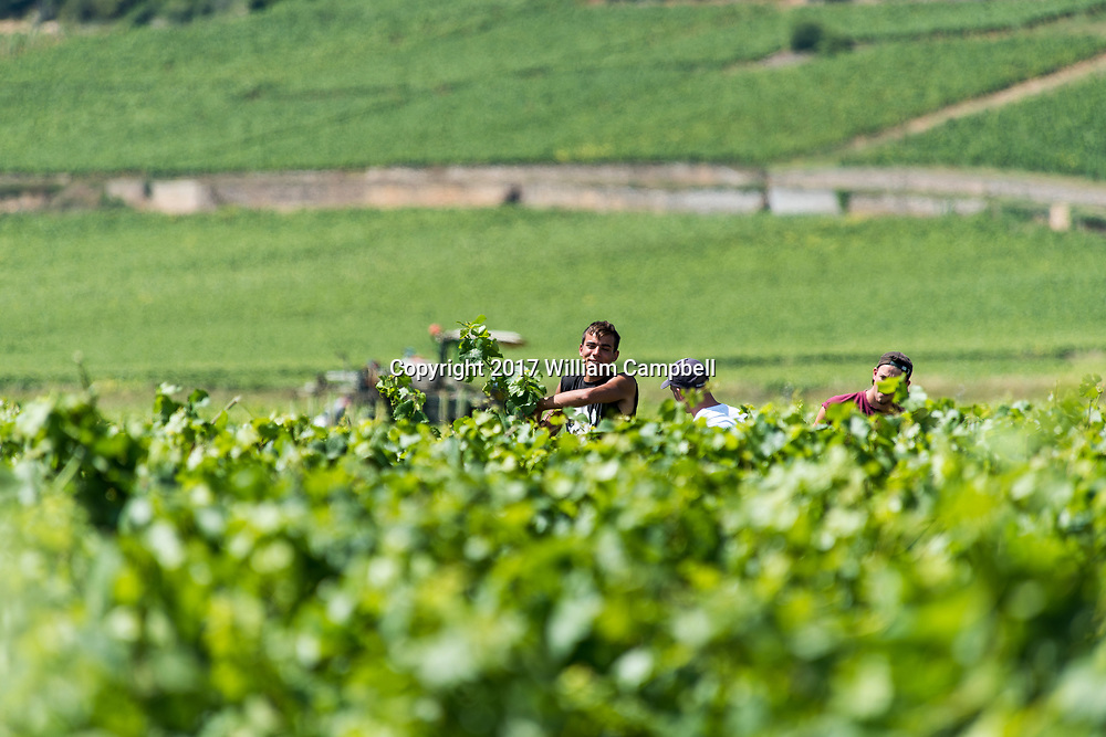 Communal Wine vineyards near the French village Pernand-Vergelesses which also has 8  Grand Cru Climates in the wine region of Burgundy.